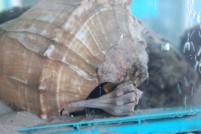 Male and Female whelks copulating in our tank!
